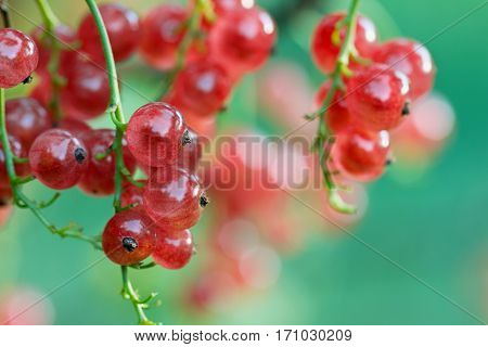 Red currant on a branch in the summer garden with beautiful bokeh.