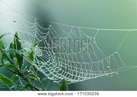 Spider web or cobweb with water drops after rain against green background.