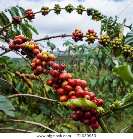 Red ripe coffee beans on a tree