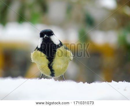 titmouse on a snowy table in the winter.