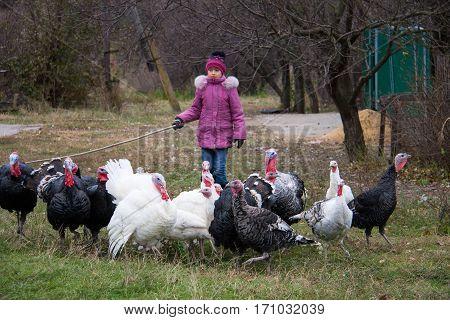 girl graze a flock of turkeys in the fall.