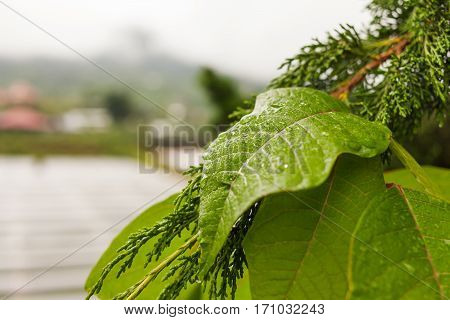 Natural background with green leaves with raindropes. Winter rainy and cloudy season. Bali Indonesia.