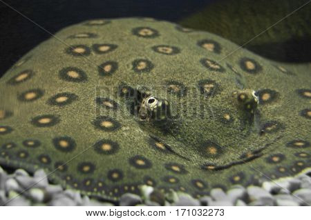 potamotrygon tigrina, tiger skate,  tiger river stingray in water. Ocean or sea, aquarium. endangered fish