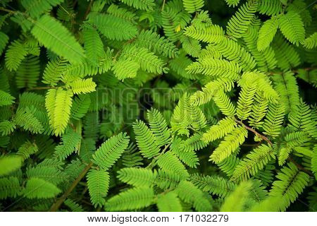 Acacia green leaves nature background top view