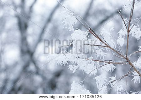 Tree branches covered with hoarfrost, closeup