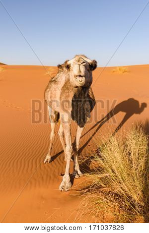 A camel in a desert in Morocco looks at the camera while eating some grass. There is a nice shadow of the camel on the ground.