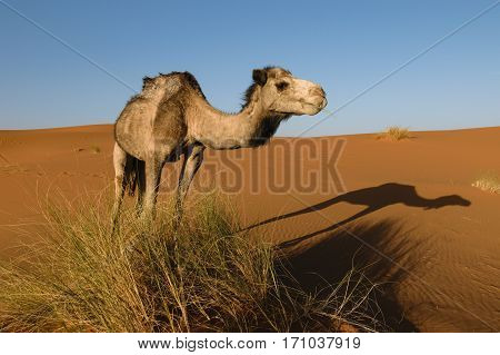 Side of an Arabian camel with a nice shadow of itself on the ground. Image is taken in a desert in Morocco.