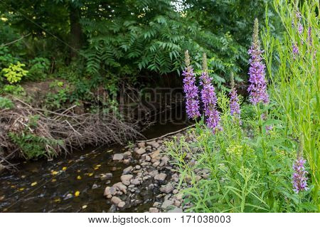 Purple Loosestrife destroying wetlands in a park in New York State.