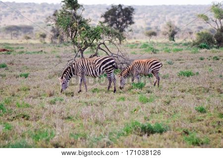 two zebras grazing in the savannah of Tsavo park is at Kenya