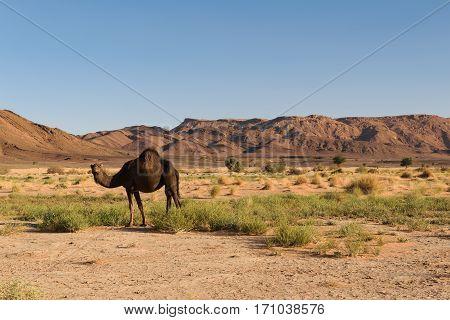 An Arabian camel, Camelus dromedarius, standing in the landscape of Ouzina, Morocco.
