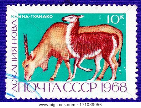 USSR - CIRCA 1968: Postage stamp printed in USSR with a picture of Canna (lat. Taurotragus oryx) and Guanaco (lat. Lama guanicoe), of the series
