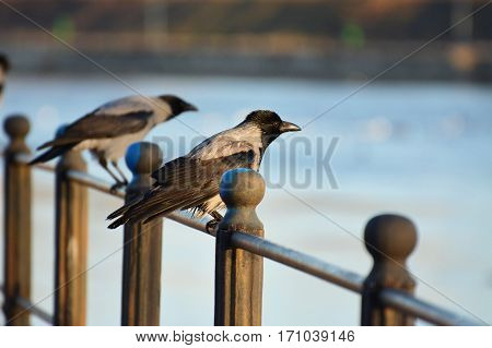 Hooded crows resting on an iron railing near the river shallow dof