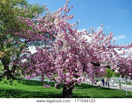 Arlington USA - April 9 2010: The sakura blossom tree on the Arlington National Cemetery.