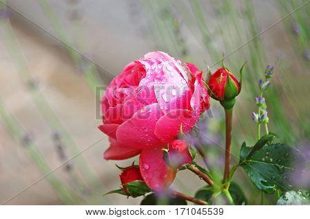 Rosa Odorata And Lavender
