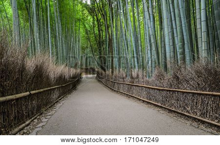 Walking path and green bamboo forest at Arashiyama touristy district Kyoto prefecture in Japan