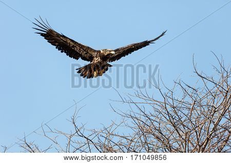 Juvenile Bald Eagle in Flight Vancouver BC Canada