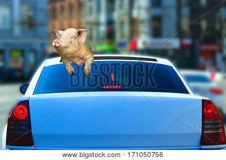 pig looks out from car hatch as if she was the passenger