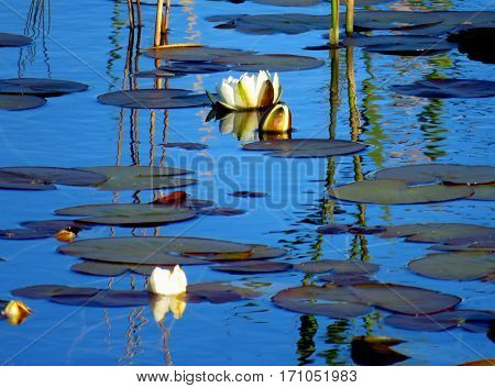 Waterlily bloom and leaves in blue water.