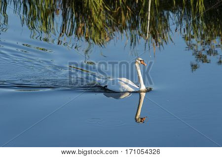 Mute swan cob paddling across still pond