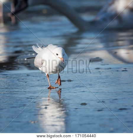 The Seagull cautiously goes on the ice
