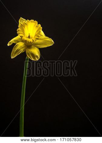 Single daffodil with copy space black background