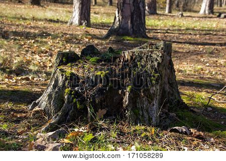 dry stump covered with moss in the forest