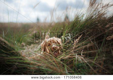 red puppy Novodolinskiy Retriever in nature cute