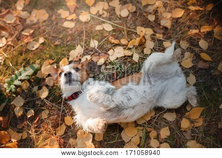 Jack Russell Terrier dog on nature, cute, beautiful