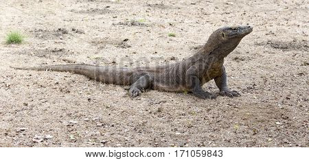 Komodo Dragon View In Komodo Island