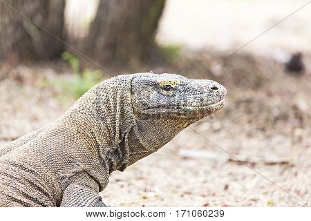 Komodo Dragon View