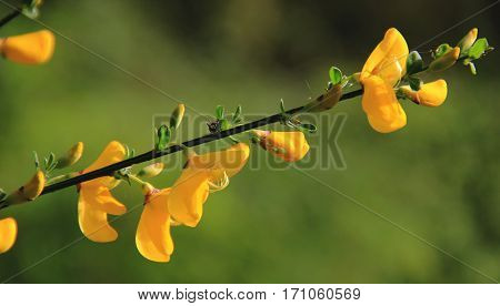 Broom branch with yellow flowers and small green guests