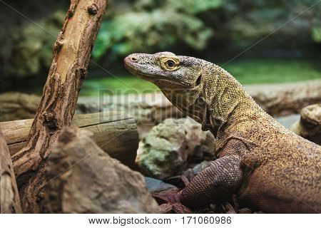 The Komodo Dragon close up in forest