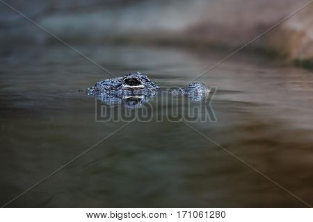 Crocodile in the water at evening time