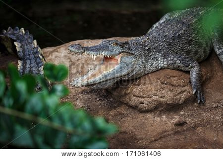 Crocodile lying on a rock with open mouth