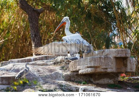 Pelican on a rock at summer time