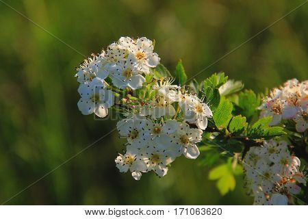 White flowers on a branch in bright sunlight