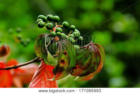 Green berries on a branch with reddish leaves