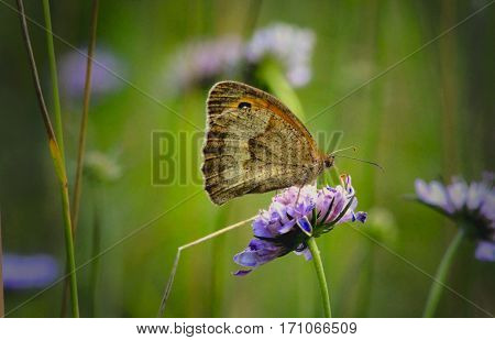 Brownish butterfly sitting on a blue flower