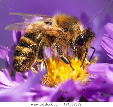 detail of honeybee (Apis mellifera) european or western honey bee sitting on the violet flower