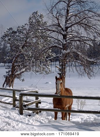 A horse standing at the fence of a pasture covered in snow with juniper trees looking outwards in Central Oregon on a winter day.