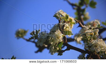 White flowers in sunlight against a blue cloudless sky