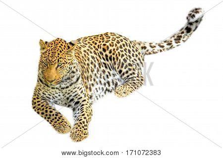 One elegant adult leopard sitting. Isolated on white background.