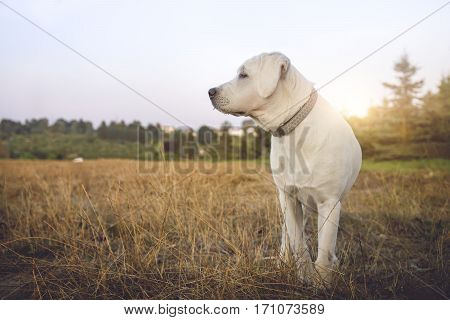 young white labrador retriever dog with nice figure on field during sunset