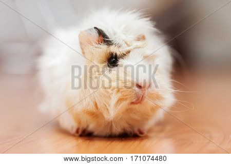 young long haired peruvian domestic guinea pig portrait