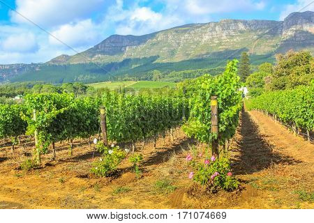 Scenery landscape of Thelema Mountain and rows of vines in a wine plantation in Stellenbosch. South Africa's most famous wineland destination.