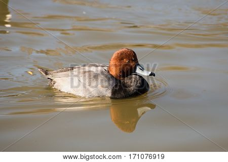 A redhead duck swimming on a lake.