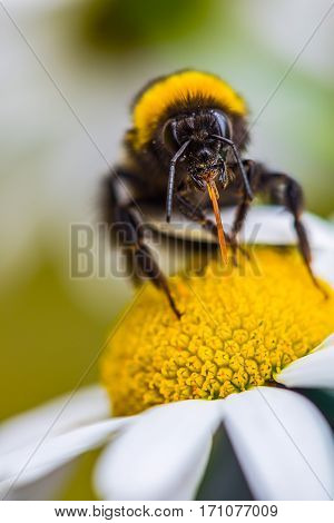Hairy bumblebee insect sitting on daisy flower