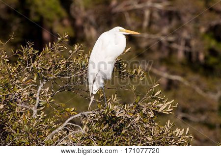 A white great egret perched in a tree.