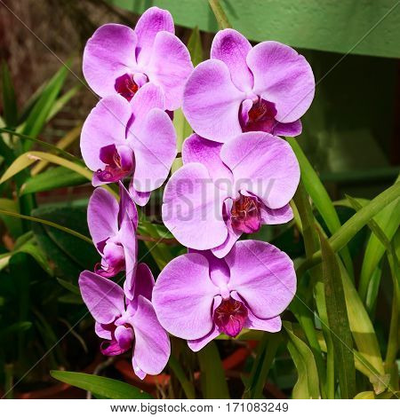 Streaked orchid flowers.   Beautiful tropical orchid flowers.