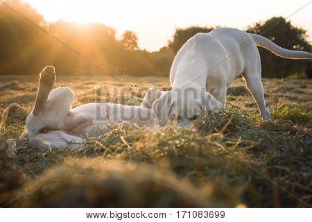 two cute labrador retriever dogs play toegether in the meadow by sunset